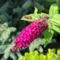 Буддлея Мисс Руби ( Buddleja Miss Ruby)